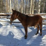 mule standing in the snow led by come-a-long rope