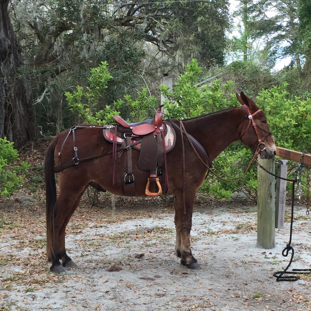 Mule with britchen, cinches, cinch straps, saddle, saddle pad, mule rider's martingale