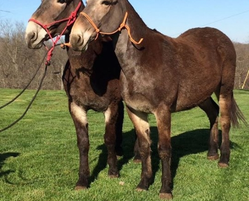 Photo of mule half-sisters, Dixie and Trixie