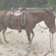 Mule tacked up with saddle, bridle, britchen